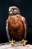 Rock Kestrel Portrait, Cape Town, South Africa Fine Art Print