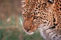 Samburu Leopard, Kenya Fine Art Print