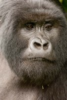 Close up of a Mountain gorilla, volcanoes national park, Rwanda Fine Art Print