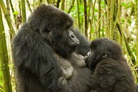 Rwanda, VP, Baby Mountain Gorilla Breast Feeding Fine Art Print