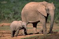 South Africa, Addo Elephant NP, Baby Elephant Fine Art Print