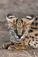 Serval Cat, Kapama Game Reserve, South Africa Fine Art Print