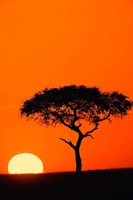 Single Acacia tree at sunrise, Masai Mara, Kenya Fine Art Print