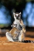 Ring-tailed Lemur primate, Berenty Reserve, Madagascar Fine Art Print