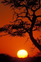 Silhouetted Tree Branches, Kalahari Desert, Kgalagadi Transfrontier Park, South Africa Fine Art Print