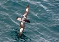 Sea Bird of Cape Petrel, Antarctica Fine Art Print