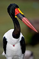 Saddle-Billed Stork Portrait, Tanzania Fine Art Print