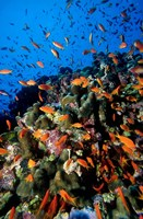 Scalefin Anthias Fish at Habili Ali, Red Sea, Egypt Fine Art Print