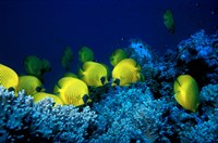 School of Masked Butterflyfish, Red Sea, Egypt Fine Art Print