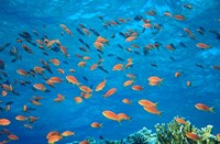 Scalefin Anthias, Elphinstone Reef, Red Sea, Egypt Fine Art Print