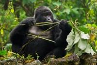 Rwanda, Blackback Mountain Gorilla, Buffalo Wall Fine Art Print