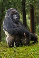 Mountain Gorilla, Rwanda Fine Art Print