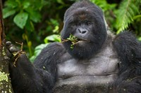 Mountain Gorilla Chewing Leaves, Rwanda Fine Art Print