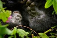 Rwanda, Mountain Gorilla, Volcanoes NP Fine Art Print