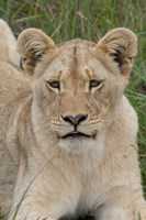 South Africa, Inkwenkwezi GR, African lion cub Fine Art Print