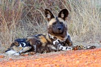 South Africa, Madikwe Game Reserve, African Wild Dog Fine Art Print
