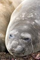 Southern Elephant Seals, Antarctica Fine Art Print