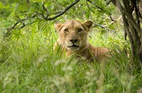 South African Lioness, Hluhulwe, South Africa Fine Art Print