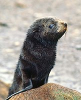 Close up of fur seal pup Fine Art Print
