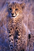 South Africa, Phinda Reserve. King Cheetah Fine Art Print