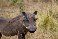 South Africa, KwaZulu Natal, warthog wildlife Fine Art Print