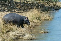 South Africa, KwaZulu Natal, Wetlands, hippo Fine Art Print