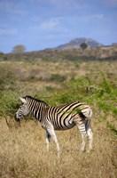 South Africa, Zulu Nyala Game Reserve, Zebra Fine Art Print