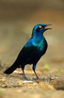 South Africa, Kruger, Greater Blue Eared Starling bird Fine Art Print