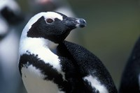Close up of African Penguin Fine Art Print