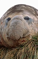 Southern Elephant Seal, bull during harem and mating season, South Georgia Fine Art Print
