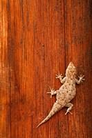 Tokay Gecko lizard, Striated Wood, Africa Fine Art Print