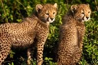 Tanzania, Ndutu, Ngorongoro, Cheetahs Fine Art Print