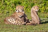 Tanzania, Ngorongoro Conservation, Cheetahs Fine Art Print