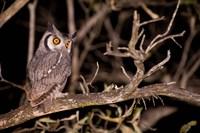 Spotted Eagle Owl, Mpumalanga, South Africa Fine Art Print