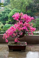 Spring Blossoms cover Bonsai, The Chi Lin Buddhist Nunnery, Hong Kong, China Fine Art Print