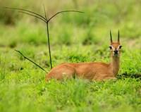 Steenbok buck, Mkuze Game Reserve, South Africa Fine Art Print