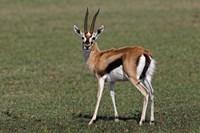 Thomson's Gazelle antelope, Maasai Mara, Kenya Framed Print