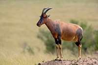 Topi antelope, termite mound, Masai Mara GR, Kenya Fine Art Print