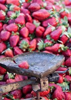 Strawberries for sale in Fes medina, Morocco Fine Art Print