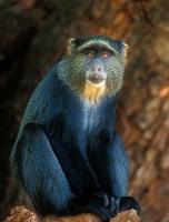 Tanzania, Lake Manyara NP, Blue Monkey Fine Art Print