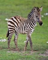 Tanzania, Zebra, Ngorongoro Crater, Conservation Fine Art Print