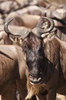 White-bearded Wildebeest, Masai Mara Game Reserve, Kenya Fine Art Print