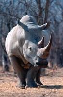 White Square-Lipped Rhino, Namibia Fine Art Print