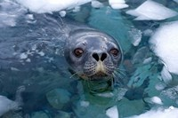Weddell seal in the water, Western Antarctic Peninsula Fine Art Print