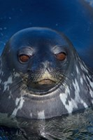 Close up of Weddell seal, Western Antarctic Peninsula Fine Art Print