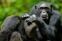 Uganda, Kibale Forest Reserve, Chimpanzee, primate Fine Art Print