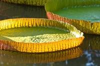 Victoria amazonica water lily leaf, Mauritius Fine Art Print