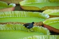 Bird on a water lily leaf, Mauritius Fine Art Print