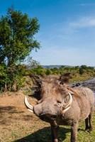 Warthog, Maasai Mara National Reserve, Kenya Fine Art Print