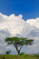Umbrella Thorn Acacia, Lake Nakuru National Park, Kenya Fine Art Print